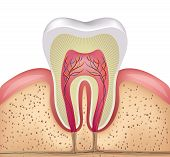 Постер, плакат: Tooth cross section