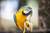 stock photo of boracay  - Blue and yellow Macaw eating banana - JPG