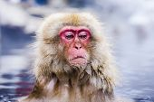 picture of macaque  - Macaques bath in hot springs in Nagano - JPG
