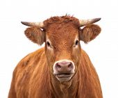 image of dairy cattle  - Portrait of a Cow Grown for Organic Meat on a White Background - JPG