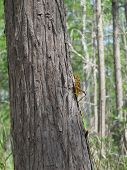 stock photo of slash  - A grasshopper walking up a Slash Pine tree in a Florida park - JPG