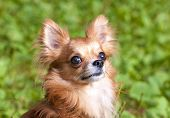 foto of chiwawa  - Red beautiful chihuahua dog portrait close - JPG