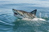 image of great white shark  - great white shark breeching with teeth and dorsal fin - JPG