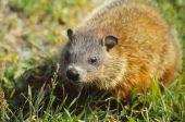 stock photo of groundhog  - The groundhog  - JPG