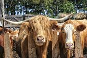 stock photo of highland-cattle  - Scottish Highland cattle and some mix breed cattle eating hay in the barnyard - JPG