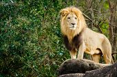 image of african lion  - Male lion looking out atop rocky outcrop - JPG