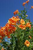 image of honeysuckle  - Flowering Cape Honeysuckle shrub on blue sky background - JPG