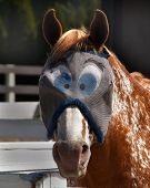 foto of blinders  - horse with shiled over eyes to protect it from being bothered by the flies - JPG