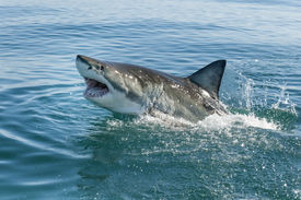 picture of fin  - great white shark breeching with teeth and dorsal fin - JPG