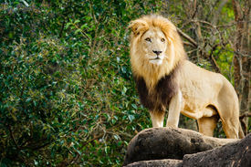 pic of female buffalo  - Male lion looking out atop rocky outcrop - JPG