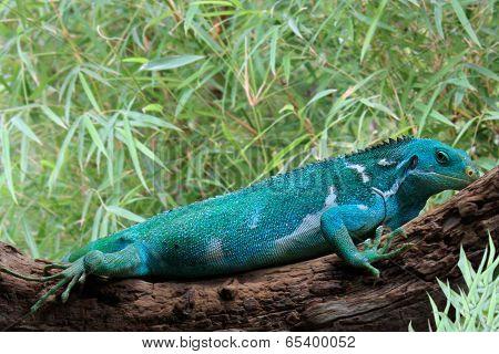 Fiji Crested Iguana  Brachylophus Vitiensis