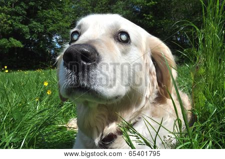 Old Blind Labrador Dog