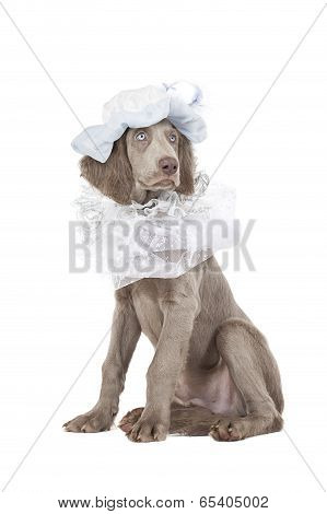Portrait Of Longhaired Weimaraner Puppy