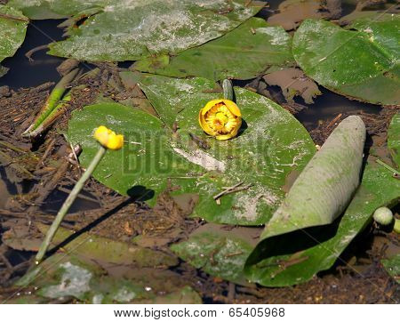 Yellow Flowers In The Pond Of Water Plant Called Nuphar Lutea