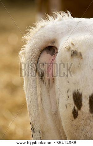 Cow Genitals