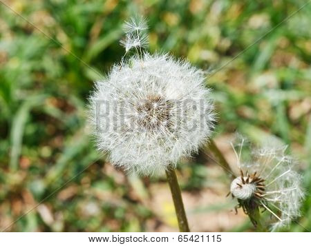 Seed Head Of Dandelion Blowball On Meadow