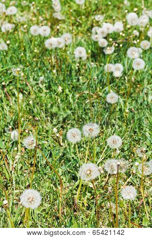 Green Lawn With Blowball Dandelions