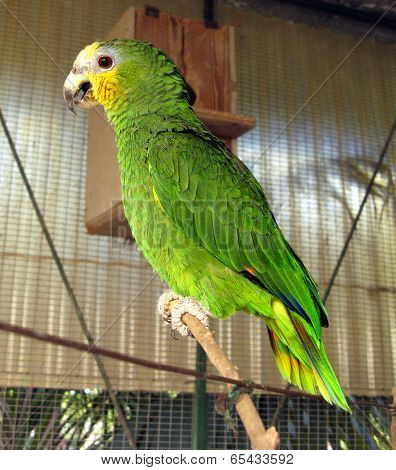 Amazon yellow crest