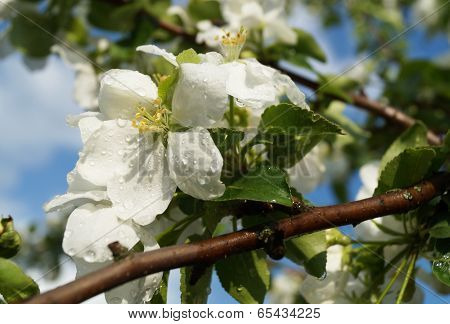 Spring Blossom To Aple Trees In Garden