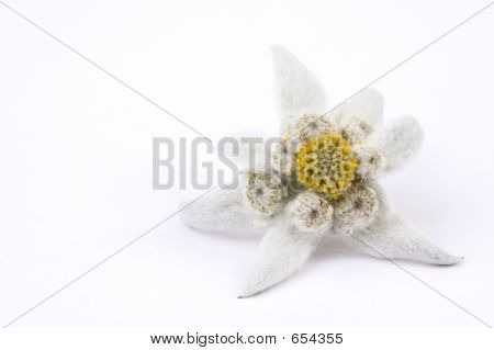 Edelweiss White