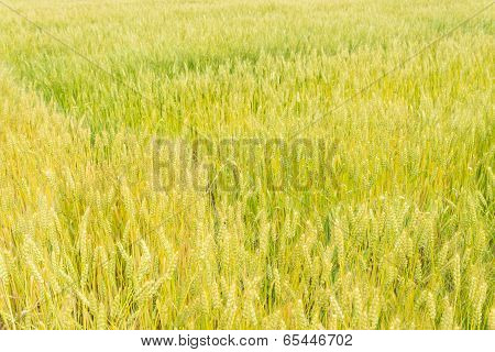 Wheat Field That Is Ripe Ear