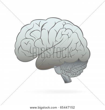 Human Brain Hemisphere