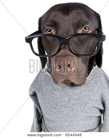 Isolated Shot Of An Intelligent Looking Labrador