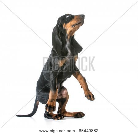 dog begging - black and tan coonhound standing on back legs begging on white background