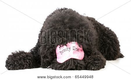 dog tired - barbet wearing pink sleep mask that say beauty rest