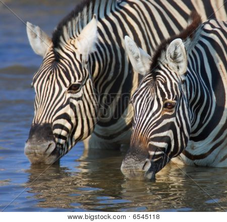 Zebras Drinking Close-up