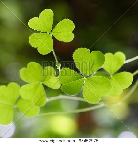 Shamrock-three Leaf Clover's
