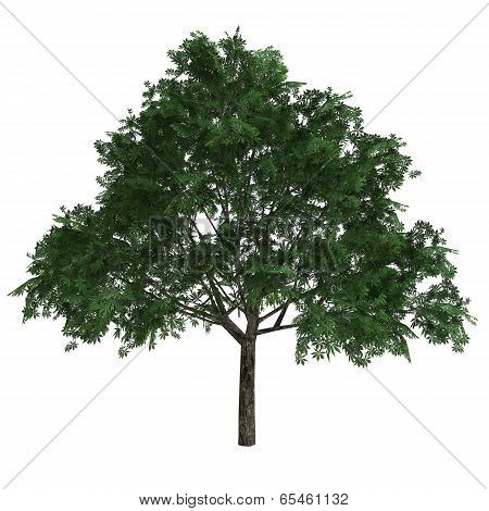Tree Aesculus Glabra