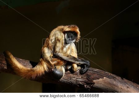 Spider Monkey looks sad