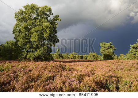 Landscape with heather (Calluna vulgaris)