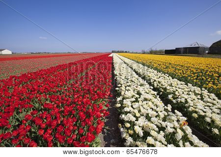 Tulip Field In Holland Near Lisse And Keukenhof. April 2014.