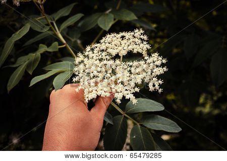 Hand Picking Elderflowers