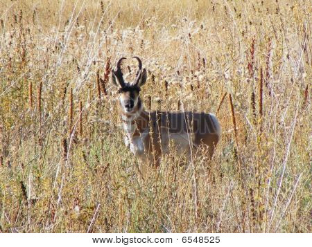 Pronghorn Antelope In Field1