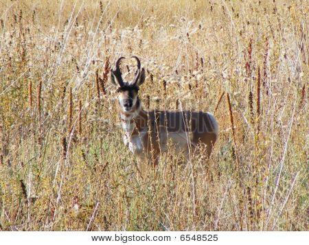 Pronghorn Antelope In Field1