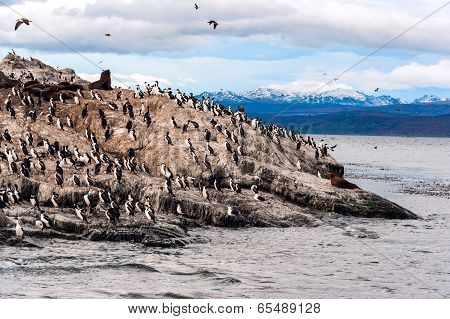 King Cormorant Colony Sits On An Island In The Beagle Channel