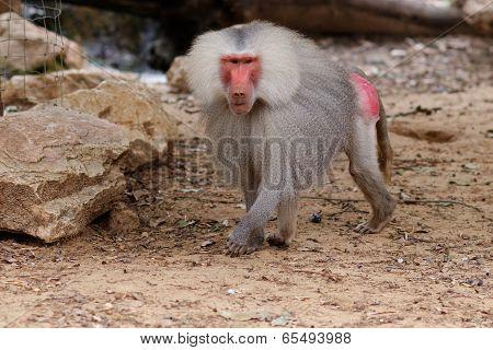 Large male hamadryas baboon walking in zoo