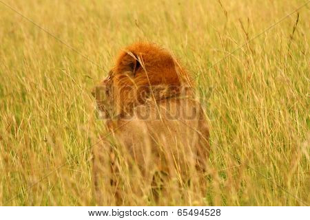 Male Lion Looks Into The Long Grass
