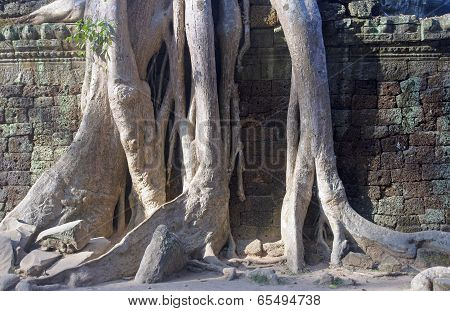 Entangling Roots Walls Of The Temple Of Ta Prohm