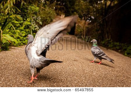 Pigeon about to fly
