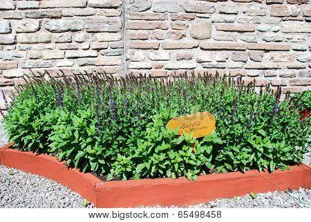Salvia Platns