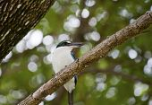 pic of lowlands  - Collared Kingfishers  - JPG