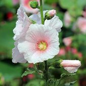 stock photo of hollyhock  - photo of beautiful hollyhock flower or althaea - JPG