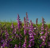 stock photo of steppes  - vetch flowering plant in the steppe zone spring season - JPG
