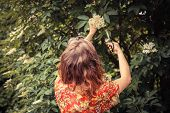 foto of elderflower  - A young woman is cutting elderflowers from a tree with scissors - JPG