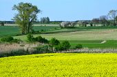 stock photo of rape-field  - Image of landscapes spring and blooming rape fields