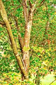 image of crepe myrtle  - Trunks and foliage of crepe myrtle tree with leaves in shades of yellow green and brown - JPG